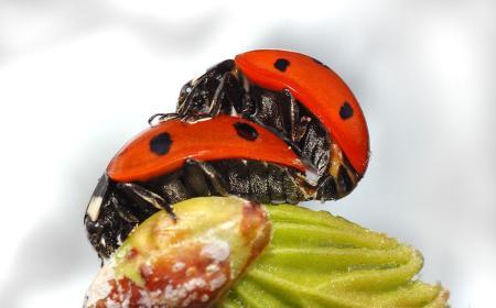 ladybug-couple