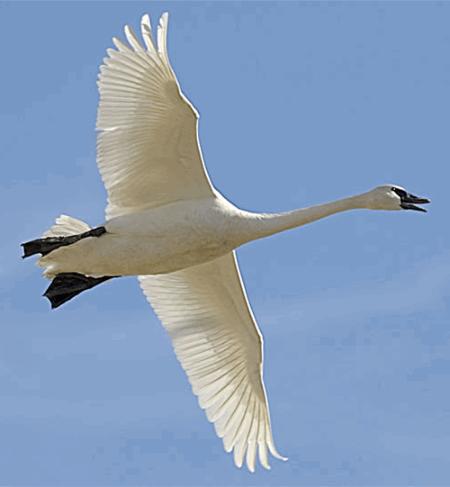 swan_flying